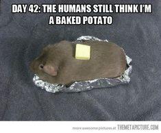 Mmmm...buttery. funny-guinea-pig-potato.jpg 540×445 pixels