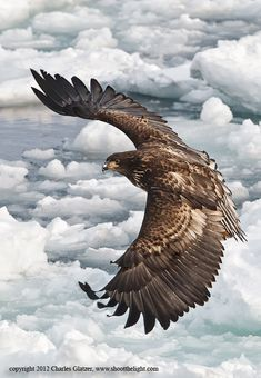 White-tailed Sea Eagle, Japan Shooting from the upper deck of our vessel afforded top-side images of the eagles with spectacular ice backgrounds. See you there in Spot metered on ice plus The Eagles, Types Of Eagles, All Birds, Birds Of Prey, Wild Life, Photo Aigle, Beautiful Birds, Animals Beautiful, Aigle Animal