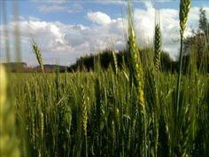 Αγροτικές Ειδήσεις: Έλεγχοι σε καλλιέργειες σκληρού σίτου