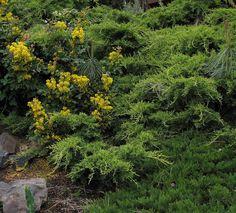 mahonia aquifolium - Google-søgning