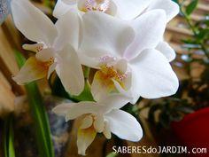 Post novo no blog: Salve uma orquídea  http://www.saberesdojardim.com/salve-uma-orquidea/  Nesse post mostro um passo a passo bem detalhado de como salvar uma orquídea com as raízes debilitadas. 😉  #saberesdojardim #orquideas #phalaenopsis #miniphalaenopsis #meujardim #minhasplantas #jardimnavaranda #orquideasnavaranda #novopost