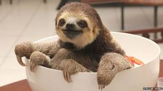 The woman who lost a dog and gained 200 sloths - BBC News