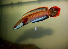 """fire and ice"" - captive bred (? Scary Fish, Cool Fish, Tropical Fish Aquarium, Tropical Freshwater Fish, Saltwater Tank, Saltwater Aquarium, Snakehead Fish, Fish Tank Terrarium, Dragon Fish"