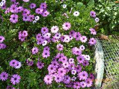 EVBJUAN Bellis perennis  margaritas PARAJE EL CHAJA -- BRANDSEN Bellis Perennis, Plants, Daisies, Planters, Plant, Daisy