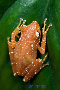 Spotted Tree Frog (Nyctixalus pictus). Captivity