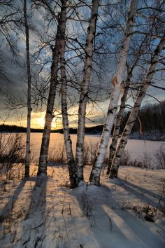 White birch trees.. Had these all over NH - I used to love to draw on the white bark!