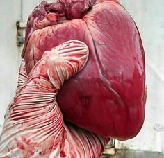 Hearts will never be practical until they are made unbreakable, and when they do, that is when we become immune to mortality. Medical Art, Medical School, Arteries And Veins, Brain And Heart, Forensic Anthropology, A Level Art, Med School, Medical Students, Imagine Dragons