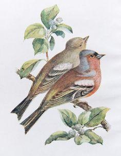 Chaffinch Print - Vintage Bird Illustration - Bird Print from Swaysland, Familiar Wild Birds on Etsy, £8.00