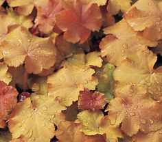 Heuchera Caramel. Colored foliage in orange and bronze tones. Grows in full sun to part shade. Can be used in containers. Hardiness zones 4-8, frost tolerant.