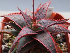 - Aloe 'Christmas Carol' is a small, slow-growing succulent, up to 1 foot cm) tall and wide with 6 inches cm) long deep green lance-shaped leaves that.