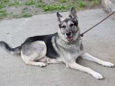 SAFE 5-21-2015 by Mountain Rottie Rescue --- Brooklyn Center REX – A1036468  MALE, BLACK / TAN, GERM SHEPHERD MIX, 7 yrs OWNER SUR – EVALUATE, HOLD FOR ID Reason TOO MANY PETS Intake condition GERIATRIC Intake Date 05/15/2015