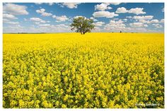 Canola fields south of Leader Saskachewan by Robert Berdan © Canadiannaturephotographer.com