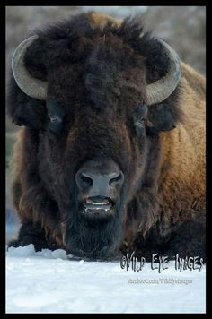 American bison, or buffalo, © Wild Eye Images