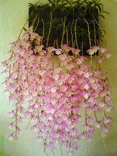 Dendrobium Las orquídeas de este género desarrollan un gran pseudobulbo del que sale un tallo parecido a una caña de una longitud de más de 30 cm. Este está densamente cubierto con unos pelos cortos blancos. Las hojas son cortas y ovales y se disponen alternativa lo largo del tallo. Los capullos axilares de flores se agrupan en ramilletes cortos con una o dos flores terminales, brotando del tallo opuesto a las hojas. Las flores pueden ser pequeñas o también pueden ser vistosas y grandes,