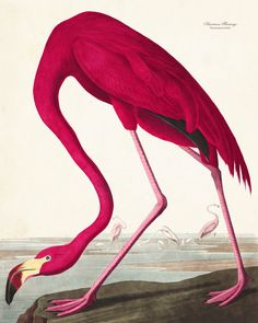 AUDUBON PINK FLAMINGO GICLEE CANVAS PRINT This print features a vibrant Pink Flamingo by the noted American ornithologist, naturalist and painter John James Audubon. The image has been digitally enhan