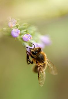 Honey Bee Photograph by Sven Hastedt