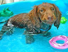 Funny faced Teddy - Dachshund puppy in pool.