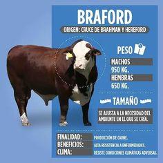 Braford Cattle, Cattle Farming, Beef Cattle, Livestock, Hereford, Farm H, Bull Cow, Hobby Farms, Farm Animals