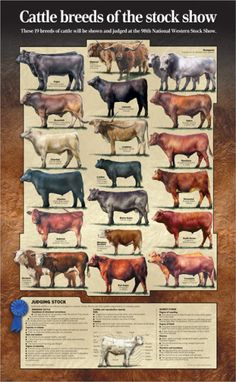 Stock Show Cattle Breeds