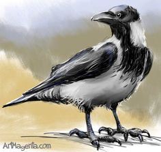Hooded Crow,Scotland 1987