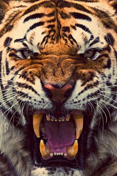 Tiger roaring close up Beautiful Creatures, Animals Beautiful, Angry Tiger, Tiger Tiger, Golden Tiger, Angry Face, Animals And Pets, Cute Animals, Scary Animals