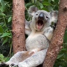 Baby Koala, Koala Bears, Teddy Bears, Baby Animals, Cute Animals, Little Critter, Long Weekend, Pet Birds, Nature