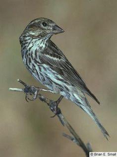 Female Cassin's Finch