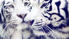 Big big cats - Click image to find more Animals Pinterest pins
