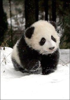 el septimo lugar es para el panda, este oso es muy adorable y pachonsito pero tambien agresivo, aun asi no le quita lo tierno que puede llegar a ser.