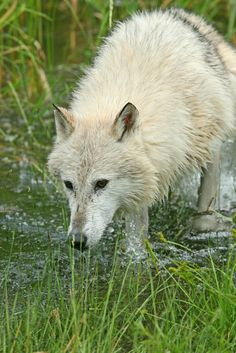 ☀Grey wolf ~  by Lynn Chamberlain on Flickr*