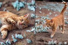 cat butterfly chat papillons 3 Chat Roux Tigré sur un Tapis de Papillons Bleus à Leningrad