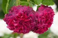 'William Shakespeare' roses, David Austen   Herzig Fotografie