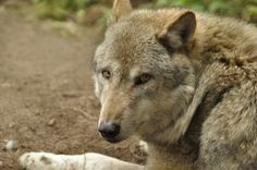 Lueneburger Heide Wolves 12 by windfuchs on DeviantArt Gray Wolf, Husky, Stock Photos, Dogs, Animals, Art, Animais, Art Background, Animales