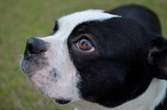 Jada is an adoptable Boston Terrier Dog in Memphis, TN.  Jada has quite a long story: she was hit by a car , taken to a vet by the kind driver who knew he r owner. The owner basically abandoned her to...