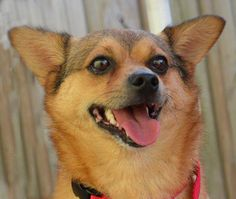 Who's your Buddy? Well, it could be me! This is Buddy, a 2 year old, 17lb male Chihuahua-Pomeranian mix. He is a playful boy who does well with other dogs his size.