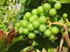Druiven doen het zelfs in de kleinste tuin, want het zijn echte klimplanten die maar heel weinig grondoppervlak in beslag nemen. Het enige waar ze om vragen is een zonnige plek. Met deze tips én een muur op het zuiden, kunt u meteen aan de slag…