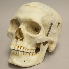 WOK-4381: Real Human Skull  (Natural Bone)