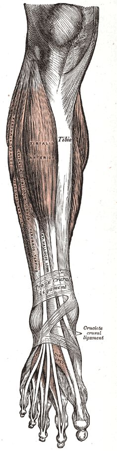 Gray's anatomy - Muscles and Fasciae of the Leg
