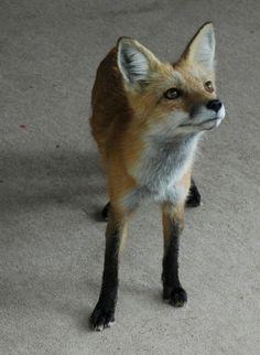 Fox in black stockings, knight in white satin