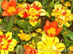 Tulips Orange Yellow Missouri Botanical Garden Missouri Botanical Garden, Orange Crush, Orange Yellow, All Pictures, Tulips, Bloom, Flowers, Plants, Photography