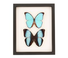 Real framed butterfly collection of 2 different species of Blue Morpho butterflies framed in a museum quality shadowbox.