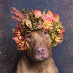 O pit bull Casper, uma das estrelas da série 'Flower Power' (Foto: Divulgação/Sophie Gamand)