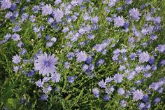 Picture of Blue cichorium chicory wild flowers on the field stock photo, images and stock photography. Blue Flowers, Wild Flowers, American Meadows, Seeds For Sale, Wildflower Seeds, Edible Plants, Cloudy Day, Canvas Art Prints, Fields