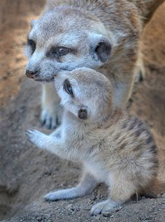 kiss on the cheek. A kiss on the cheek for mom - A baby meerkat shows some maternal love at the San Diego Zoo (by Ion Moe)A kiss on the cheek for mom - A baby meerkat shows some maternal love at the San Diego Zoo (by Ion Moe) Cute Baby Animals, Animals And Pets, Funny Animals, Cute Animal Photos, Animal Pictures, Baby Meerkat, San Diego Zoo, My Animal, Mammals