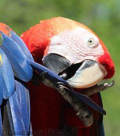 Macaw in Macaw Mountain Park, Copan Honduras
