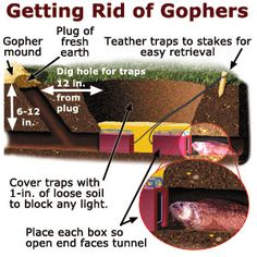 I fear we may have gophers where we're planning to put our raised beds.  :(