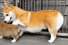 """gifaknet: """" video: Corgi Dog Teaches Corgi Puppy to Sit """""""