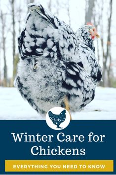 Winter chicken care can be confusing, whether you're new to chicken keeping or a seasoned flock master. Find all the answers here! Source by bycproject Raising Backyard Chickens, Baby Chickens, Keeping Chickens, Chickens And Roosters, Garden Animals, Farm Animals, Chicken Coop Winter, Chicken Tractors, Chicken Coops