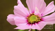 First pink Cosmos bloom of the year. It is not perfect but is beautiful non the less. Photo by Chandra Nyleen