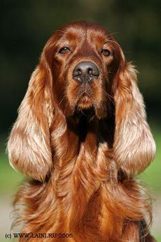 Irish Setter Dog by © LAINI & SAMIN, via www.laini.ru